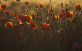 Картинка red, flower, sunset