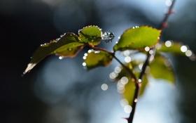 Картинка листья, капли, макро, ветка