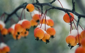 Обои природа, зима, яблоки