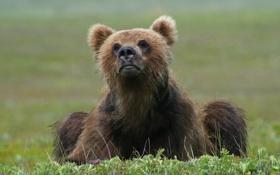 Картинка трава, морда, фото, медведь, сидит
