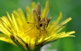 Обои желтый, одуванчик, бабочка, лапки, усики