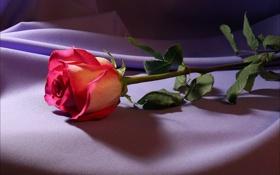 Картинка цветок, свет, цветы, роза, ткань