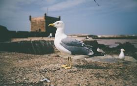 Картинка чайка, птица, смотрит, лапки, клюв