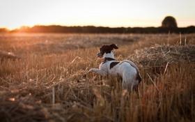 Картинка поле, закат, собака