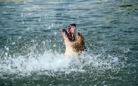 Обои вода, брызги, пес, морда, жара, пасть, пьет