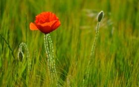 Обои пшеница, поле, цветок, мак