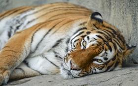 Обои кошка, взгляд, морда, тигр, отдых, амурский, ©Tambako The Jaguar