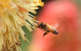 Обои цветок, нектар, пчела, насекомое