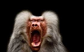 Обои природа, обезьяна, крик, Pavian