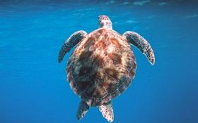 Обои turtle, черепаха, океан, water, вода, море, панцирь