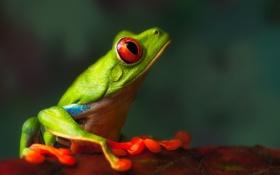 Обои Nature, Macro, Frog, Profile of a Friend