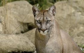 Обои морда, хищник, пума, дикая кошка, горный лев, кугуар