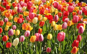 Картинка тюльпаны, бутоны, плантация