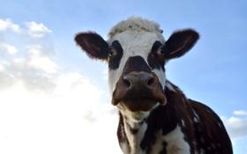 Картинка небо, морда, корова