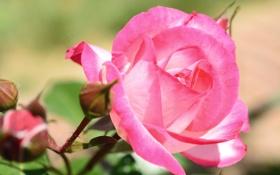 Картинка макро, роза, бутоны