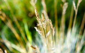 Картинка растения, поляна, колоски, травинки, лето