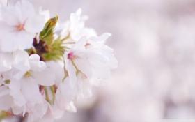 Картинка весна, вишня, лепестки, белый, природа, цветы, макро