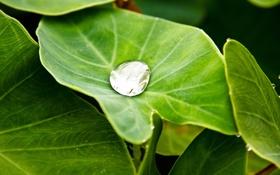 Обои зелень, вода, лист, зеленый, роса, капля, капля воды