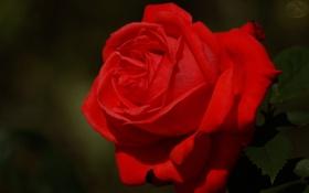Обои роза, листочки, макро