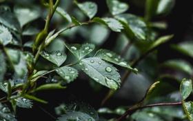 Картинка листья, капли, макро, зеленый, дождь, растение