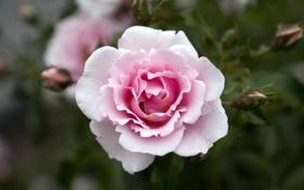 Обои роза, цветок, лепестки, розовая, красота