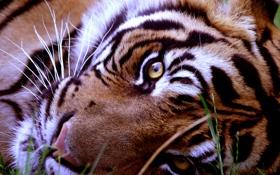 Картинка взгляд, морда, животное, хищник, лежит, тирг