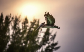 Картинка птица, фон, пеликан
