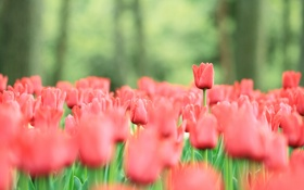 Картинка весна, поляна, тюльпаны, стебли, бутоны, яркие, красные