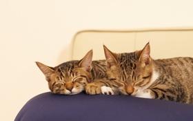 Обои кошки, коты, сон, подушка, спят
