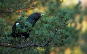 Обои дерево, птица, ветка, глухарь, хвойная