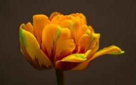 Обои макро, желтый, тюльпан