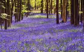 Обои поляна, Hertfordshire, Bluebell, колокольчик