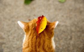 Обои кот, осень, рыжий, уши, животное, листок