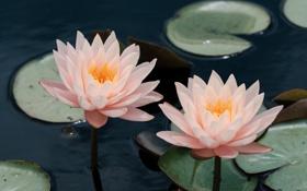 Обои цветы, лилии, лепестки, кувшинки