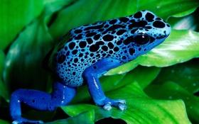 Обои листья, зеленые, синяя, леопардовый, окрас, лягушка