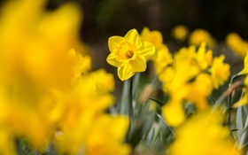 Картинка нарциссы, листья, желтые, макро, цветы