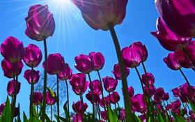 Обои тюльпаны, небо, солнце, весна, лучи, цветы