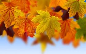 Обои осень, листья, макро, коллаж, клен