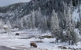 Картинка animals, wildlife, Yellowstone National Park, Montana, Bison
