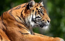 Картинка усы, морда, тигр, отдых, полосатый красавец