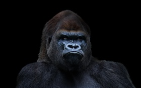 Обои горилла, black, Gorilla