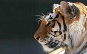 Обои животное, спокойствие, Тигр, tiger, хищник.