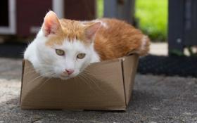 Обои кошка, глаза, кот, взгляд, коробка, котэ