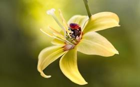 Картинка цветок, макро, желтый, божья коровка, насекомое