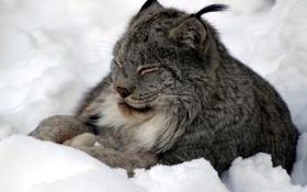 Обои зима, снег, спит, рысь