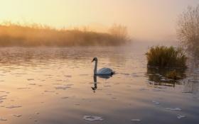 Картинка туман, озеро, пруд, утро, лебедь