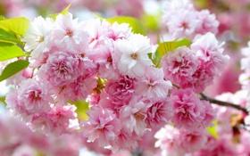 Обои макро, ветка, сакура, цветение