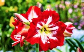 Картинка цветение, белые, красно, Амариллисы, ярко
