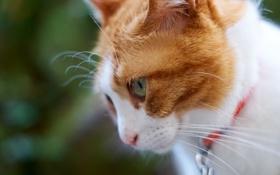 Картинка кот, профиль, морда, мордочка, бело-рыжий, кошка