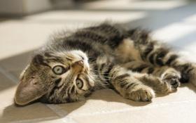 Обои глаза, взгляд, котенок, лежит